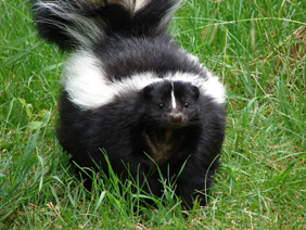 skunk vs stink bugs